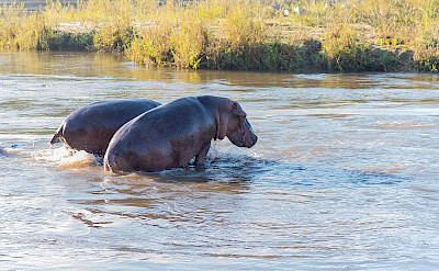 Hippo in the water. ©TO