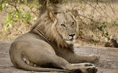 Male African lion. ©TO