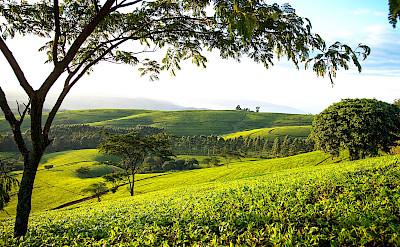 Satema tea estates. ©TO