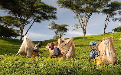 Tea pickers at Satemwa Tea Estate ©TO