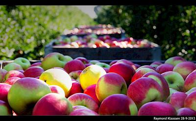 National Apple Harvest Day in Flevoland, the Netherlands. Flickr:Raymond Klaassen