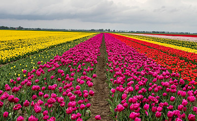 Tulip fields on Flevopolder, the Netherlands. Flickr:Willem van Valkenburg