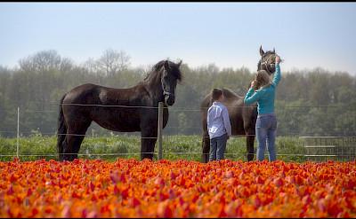 Tulips & horses in Flevoland, the Netherlands. Flickr:Raymond Klaassen