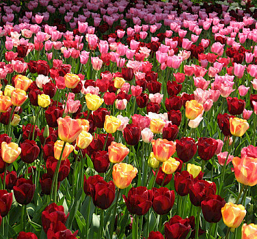 Dutch tulips! Photo via Flickr:Michela Simoncini