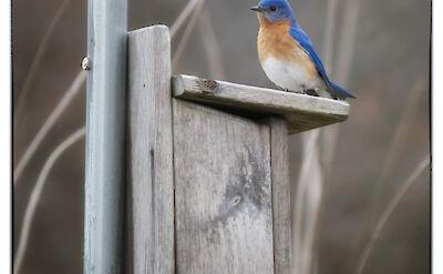 Blue Bird in Port Colborne, Ontario, Canada. Flickr:Brian Desrosier Photography