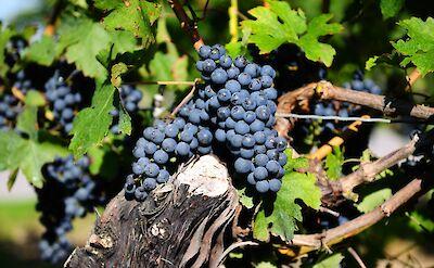 Fresh grapes on Niagara Peninsula.
