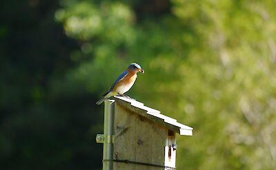 Georgia's Bluebird. Flickr:Nate Steiner