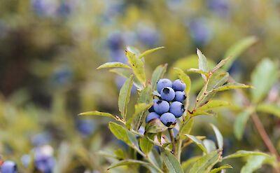Wild blueberries in Maine. Flickr:Allagash Brewing