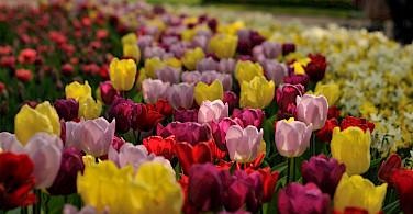 Tulips at the famous Keukenhof in April and May. Photo via Flickr:gnuckx