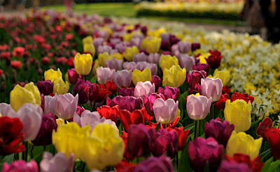 Tulips at the famous Keukenhof in April and May. Flickr:gnuckx