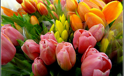 Tulips are aplenty in Holland. Flickr:Rina Pitucci