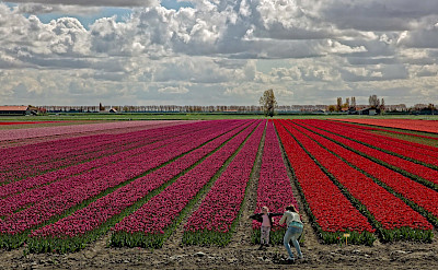 Tulip fields in the Netherlands in the Springtime. © Hollandfotograaf