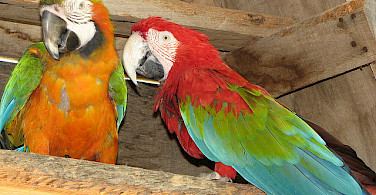 Macaws love the Algarve region of Portugal. Photo via Flickr:Glen Bowman