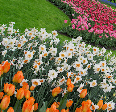 More tulips at the Keukenhof.... Photo via Flickr:IMBiblio