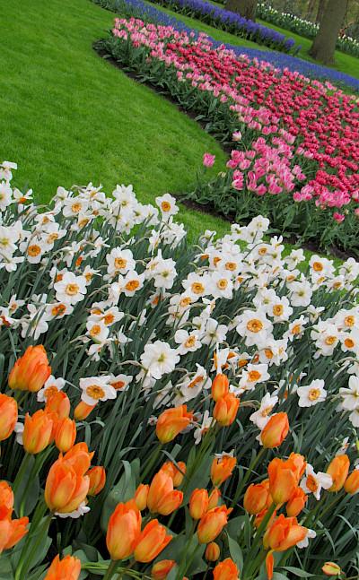 More tulips at the Keukenhof.... Flickr:IMBiblio
