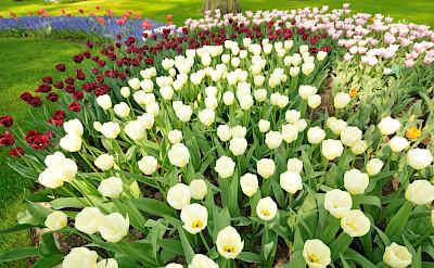 White tulips at the Keukenhof in the Netherlands. Flickr:gnuckx