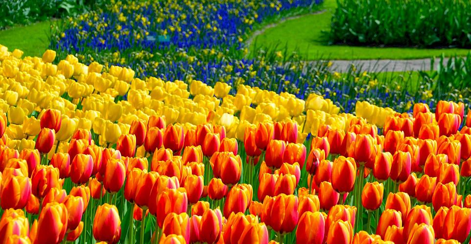 Tulip fields at the Keukenhof near Lisse in the Netherlands. Flickr:Adriano Aurelio Araujo