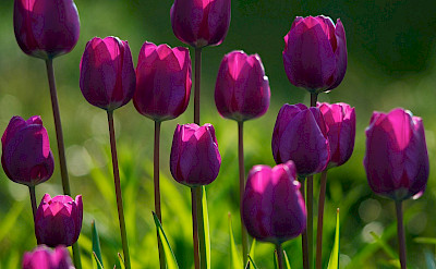 Purple tulips in Holland of course! Flickr:C_osett