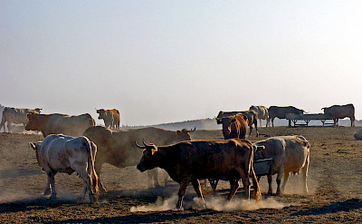 Cattle in Palma del Rio, Andalusia, Spain. Flickr:Phillip Capper