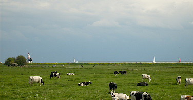 Cows grazing by the IJsselmeer with the boats nearby. Photo via Flickr:Taco Witte