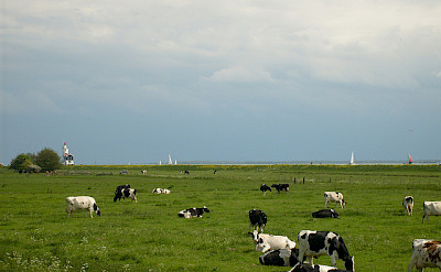 Cows grazing by the IJsselmeer with the boats nearby. Flickr:Taco Witte