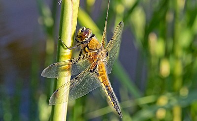 Dragonfly beauties in the Netherlands. © Hollandfotograaf