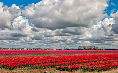 Red and purple tulip fields in the Netherlands. © Hollandfotograaf