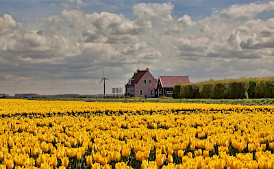 Yellow tulip fields in the Netherlands. © Hollandfotograaf