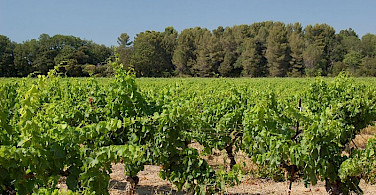 Vineyard in Aix-en-Provence, France. Photo via Wikimedia Commons:teddysipaseuth