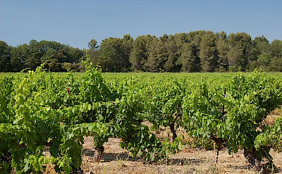 Vineyard in Aix-en-Provence, France. Wikimedia Commons:teddysipaseuth