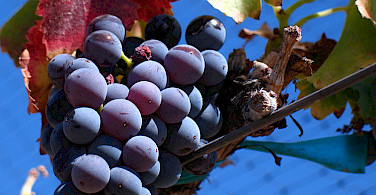 Grenache Noir Grapes common to the region. Photo via Wikimedia Commons:Josh McFadden
