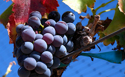 Grenache Noir Grapes common to the Provence region. Wikimedia Commons:Josh McFadden