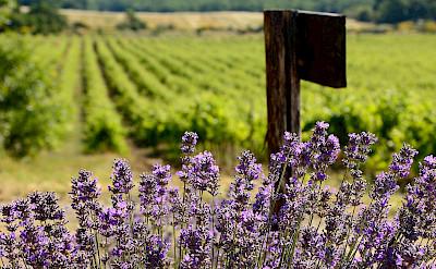 Vineyards dominate in Provence, France. Flickr:Ming-Yen Hsu