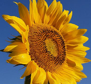 Sunflower fields pepper the Provence region. Photo via Flickr:jeffreyc42