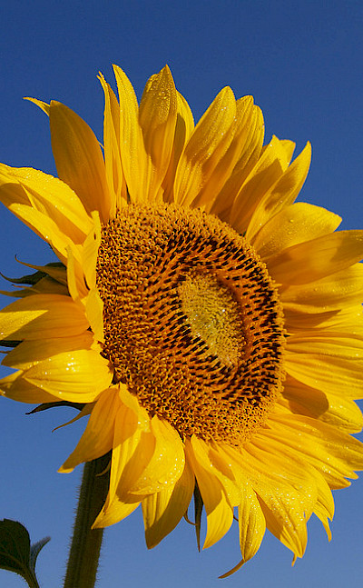 Sunflower fields pepper the Provence region. Flickr:jeffreyc42