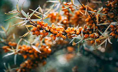 Sanddorn Berries, used to make Sanddorn Wine. Photo by Philipp Deus on Unsplash