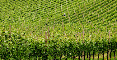 Vineyards in Trentino Alto Adige, Italy. Photo via Flickr:maurizio.69