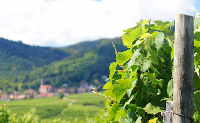 Vineyards surrounding Eguisheim, Alsace, France. Flickr:Ed Clayton