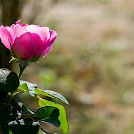 Rose in Sologne, France. Flickr:JoyTek