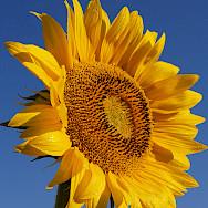 Sunflowers grow abundantly in France! Flickr:jeffrey42