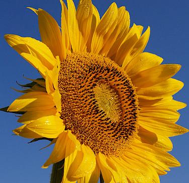 Sunflowers grow abundantly in France! Photo via Flickr:jeffrey42