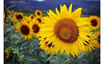 Sunflowers in France. Flickr:Vincent