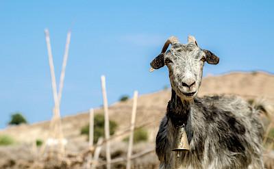 Goats on Patmos Island, Greece. Flickr:Giacomo Gasperini