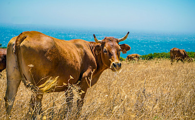 Cows grazing near the beach in Tarifa. Photo by Joe Leahy on Unsplash