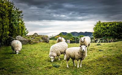 Sheep grazing in Ireland. Flickr:Giuseppe Milo