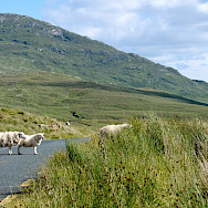 Sharing the road in Connemara, Ireland. Flickr:Leo Daly