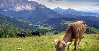 Cows grazing in the Dolomites, Italy. Photo via Flickr:Maurice