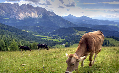 Cows grazing in the Dolomites, Italy. Flickr:Maurice