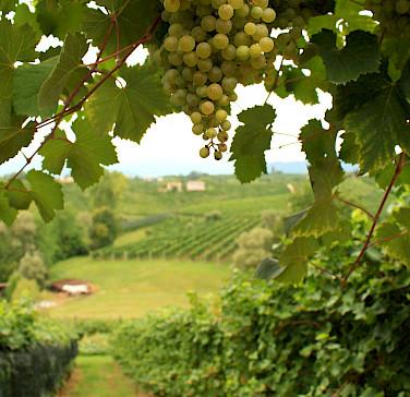 Grapes for Prosecco in Valdobbiadene! Treviso, Veneto, Italy! Photo via Flickr:Luca Temporelli