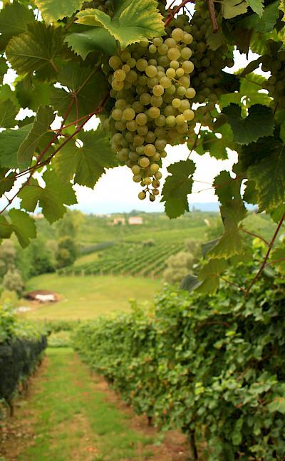 Grapes for Prosecco in Valdobbiadene! Treviso, Veneto, Italy! Flickr:Luca Temporelli
